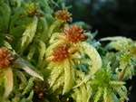 Sphagnum palustre